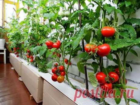 Ранние сорта томатов для балкона, открытого грунта и теплиц » Женский Мир