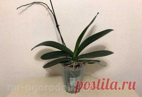 Фаленопсис отцвел, что делать дальше - подробные рекомендации Рекомендации по уходу за орхидеей фаленопсис после цветения. Надо ли отрезать цветонос, что делать с цветком. Когда орхидея опять зацветет.