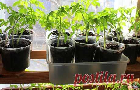 """""""Кормлю"""" помидоры после пикировки особым средством и уже 3-тий год собираю урожай на месяц раньше соседей. Личный опыт   Огород от А до Я l Блог Светланы   Яндекс Дзен"""