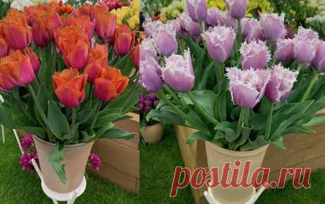 Тюльпаны 🌷 у меня цветут раньше, чем снег тает – про хитрость посадки рассказываю в статье | Зелёные истории | Яндекс Дзен