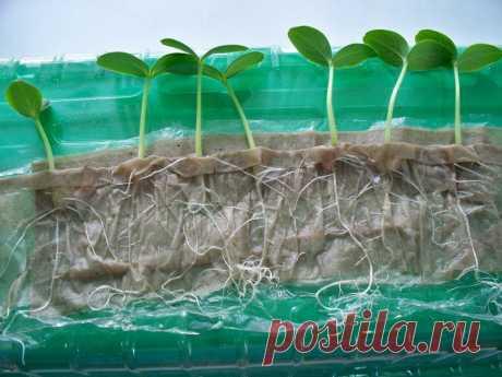 Рассада в туалетной бумаге без земли в пластиковых бутылках: посев и безземельный способ выращивания рассады (видео) » eТеплица