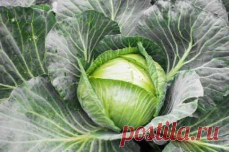 Секреты богатого урожая капусты - Садоводка