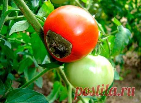 Как бороться с фитофторой на помидорах - 14 народных советов » Женский Мир