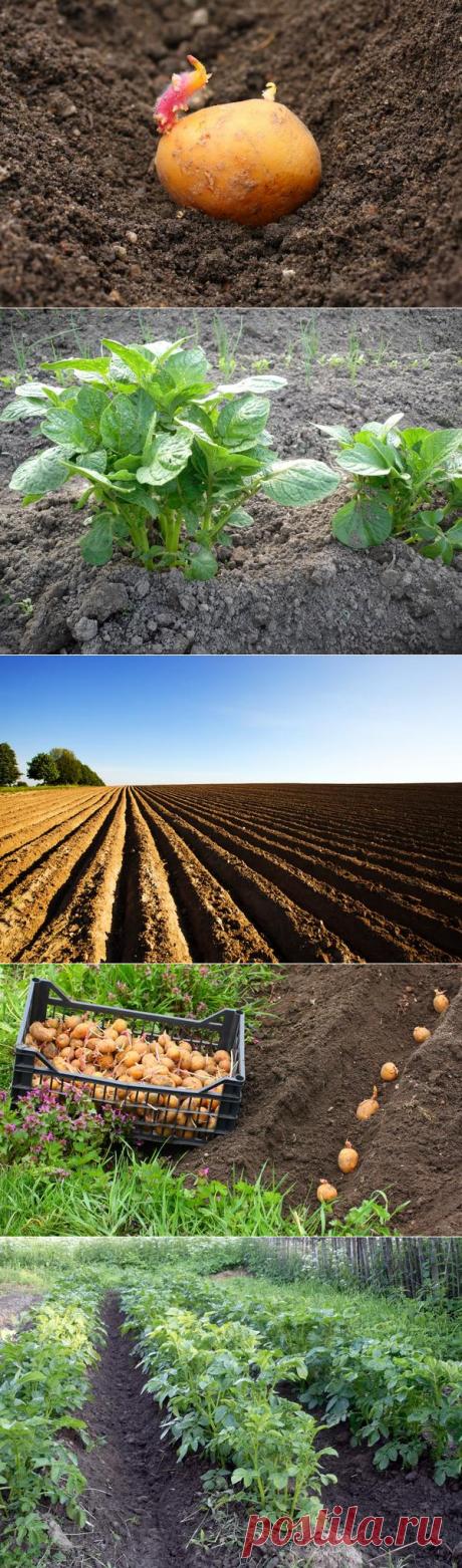 Посадка картофеля: традиционные и необычные способы