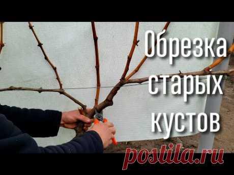 Обрезка старых кустов винограда. Все варианты формировки. Как обрезать старые кусты правильно