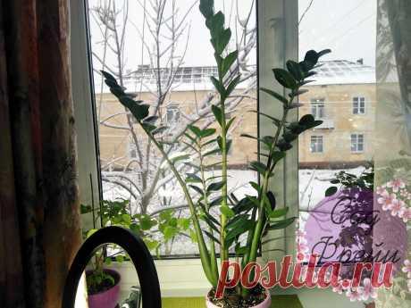 Почему у замиокулькаса пропадает старый лист, когда вырастает новый? Зная причины, можно вырастить пышный куст   Сад Фрейи   Яндекс Дзен