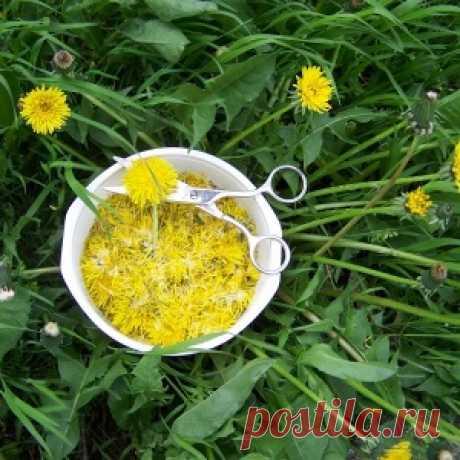 Желтый женьшень: самое многофункциональное лекарство - одуванчик!