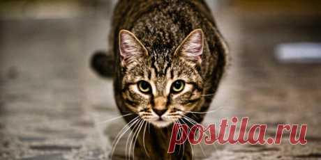 Почему моя кошка... Охотится на меня? | PetTips