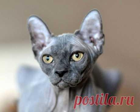 Эльф - это редкая порода кошек с прекрасным характером. Они станут интересным и забавным дополнением вашей семьи.