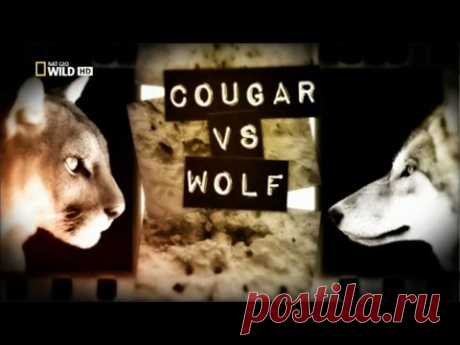 Пума Против Волка,Cougar vs Wolf,NatGeoWild