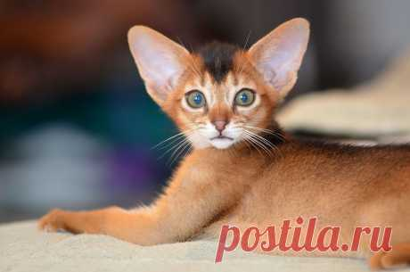 Абиссинские кошки и котята - питомник абиссинских кошек Super-Aby