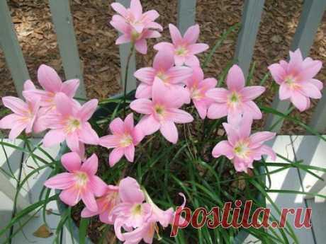Растение зефирантес – это комнатные цветы: зефирантес на фото и его виды – выскочка, белый, розовый, желтый