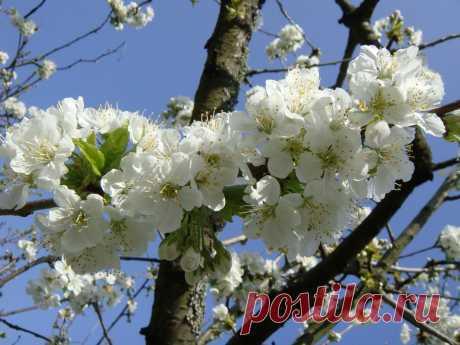 картинки : природа, филиал, цвести, белый, фрукты, цветок, Пища, весна, производить, вишня в цвету, Кустарник, фруктовое дерево, весенние цветы, цветущее растение, Розовая семья, Цветение вишни, Наземный завод 3648x2736 -  - 1226749 - красивые картинки - PxHere