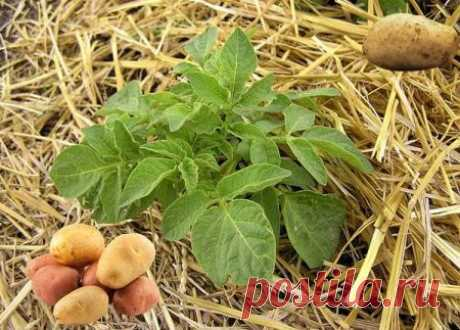 Веерный способ выращивания картофеля: пошаговое окучивание, фото, отзывы