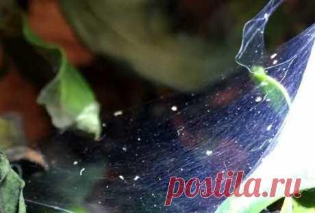 Паутинный клещ на комнатных растениях: как выглядит, фото, как бороться? Использование растений в интерьере дома - давно привычное и любимое многими занятие. Они являются украшением комнат, очищают воздух и радуют глаз хозяев. Цветоводы прилагают немало усилий, чтобы их лю...