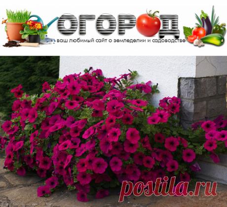 Посадка петунии на рассаду из семян в домашних условиях | Огород