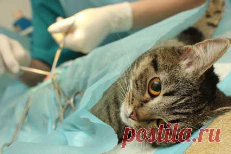 Как стерилизуют кошек Владельцам важно знать, как стерилизуют кошек, чтобы выбрать наиболее оптимальный вид операции, а также правильно соблюдать послеоперационный режим.