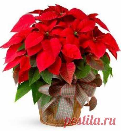 Пуансетия: уход в домашних условиях, содержание и размножение :: SYL.ru