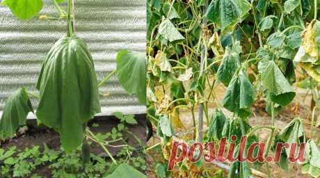 Что делать с увядающим кустом огурца. Все полезные советы от садоводов и огородников помогут вырастить хороший урожай.