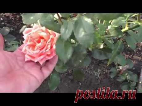 Укрываю розы на зиму