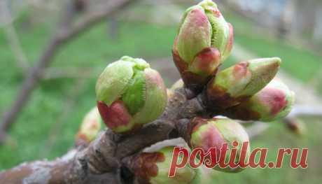 Как увеличить количество плодовых почек на яблоне и груше? — 6 соток
