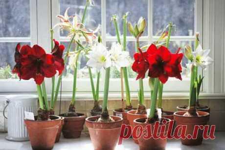 Как правильно поливать гиппеаструм и другие растения из семейства амариллисовых | Комнатные растения | Яндекс Дзен
