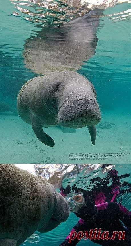 Заплыв с ламантином во Флориде | В мире интересного