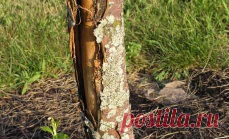 Что делать, если на яблоне трескается и отслаивается кора — Мир интересного