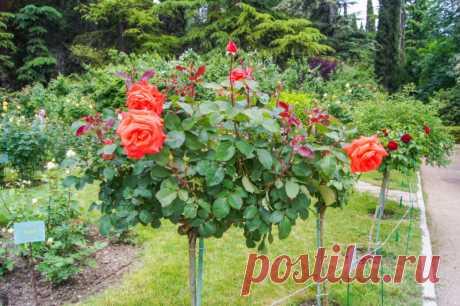 Отличный метод омоложения роз содой | Идеальный огород | Яндекс Дзен