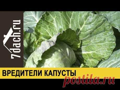 Wreckers of cabbage: how to get rid of caterpillars and slugs - 7 dachas