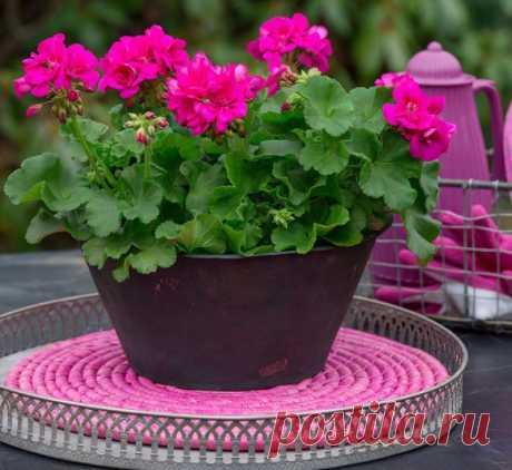 Осенняя и весенняя обрезка герани (пеларгонии) для пышного цветения. — Садоводка