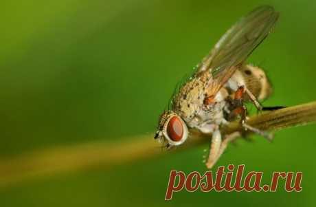 Луковая муха – как распознать на растениях и эффективно с ней бороться | Болезни и вредители (Огород.ru)