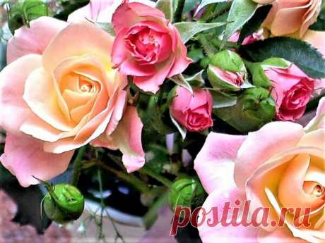 Вот что надо знать о летнем уходе за розами (шпаргалка для цветовода).   Клумба, сад и огород   Яндекс Дзен