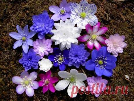 Весенний цветок. Цветок пробивающий снег. – Моя дача