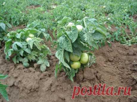Секретный способ посадки томатов