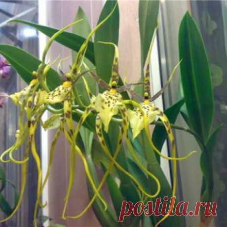Описание разновидностей орхидеи брассия и советы по выращиванию комнатного растения |