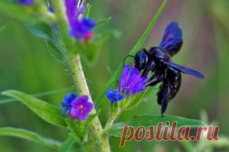 Пчелы-плотники — чем опасны и как от них избавиться?