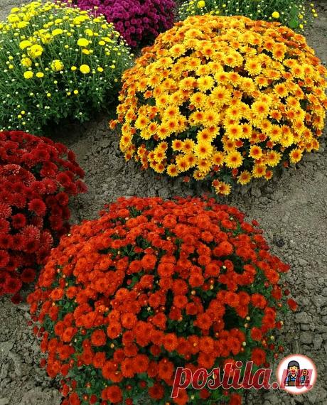 Готовим Хризантему мультифлора к зимовке. Рассказываю как не допустить многих ошибок садоводов и не погубить цветы | Цветущий сад | Яндекс Дзен