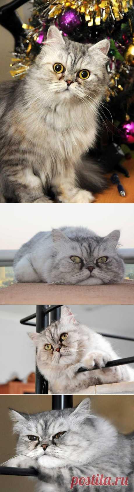 Наша персидская кошка- Кисун. | ПИТОМЦЫ