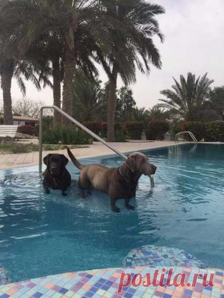 Если вы поставите лабрадоров в воду, то они превратятся в такс