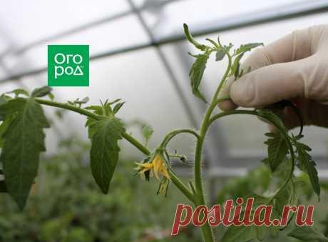 7 обязательных процедур, которые нужно сделать с томатами в августе   Томаты (Огород.ru)