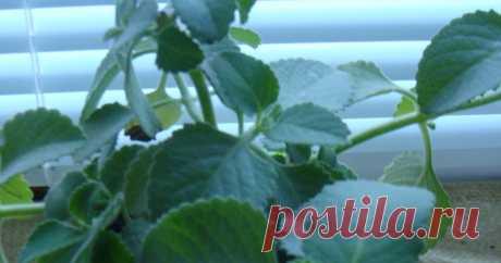 Plectrantus fruticans (мольное дерево): уход за комнатной мятой Как ухаживать в квартире за плектрантусом