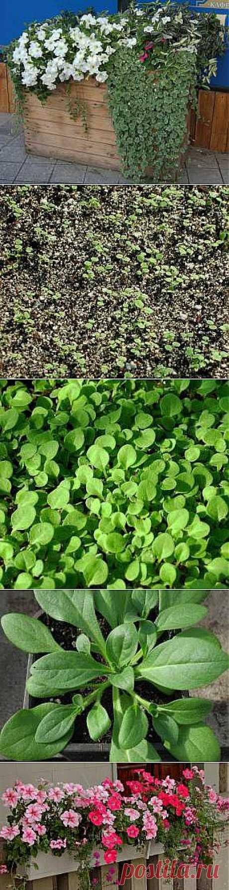 Петуния: посев на рассаду и выращивание