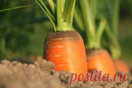 После первых заморозков морковь станет слаще?