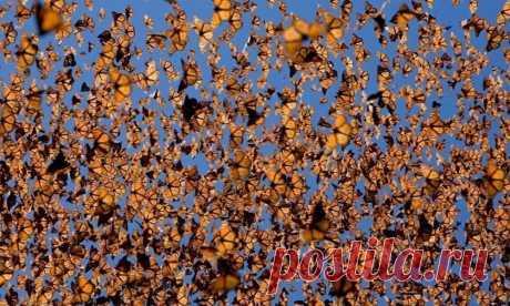 Миграция по воздуху присуща не только птицам, но и некоторым видам бабочек, самым известным примером которых является данаида монарх. Наиболее изучена миграция у особей, обитающих в Канаде и на севере США. Они перелетают на многие тысячи километров для зимовки в южные штаты и Мексику, а обратно возвращаются уже их потомки во втором, третьем или четвёртом поколениях.