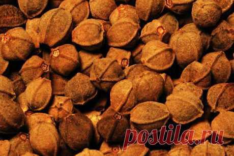 Липовые орешки - и что в них интересного | ПлодоВито | Яндекс Дзен