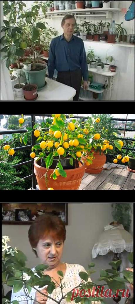 Как формировать комнатный лимон и другие цитрусовые - YouTube