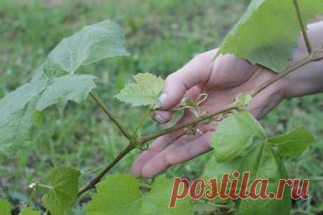 Уход за виноградом в июле – 3 самые важные процедуры | 6 соток