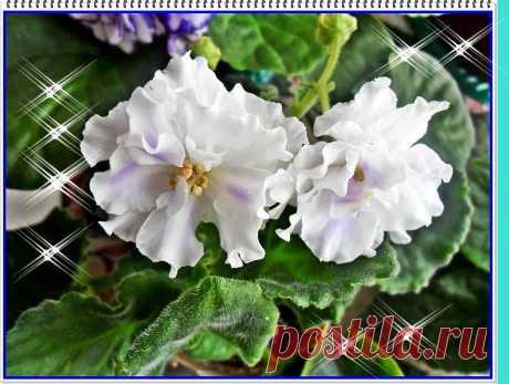 Сорт ЕК-Снежное кружево Фиалка сказочный цветок, Никто не может с этим спорить. Созданье дивной красоты И удивительных историй.