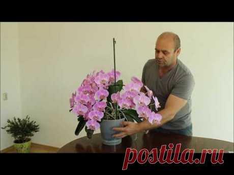 Орхидея уход. Как вырастить сильное здоровое растение.